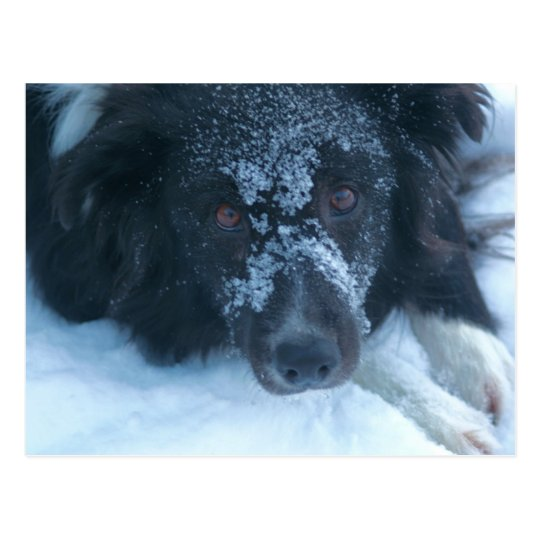 Snowy Faced Border Collie Cute Dog Postcard