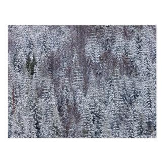 Snowy Forest, Mt. Rainier National Park Postcard