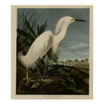 Snowy Heron or White Egret Posters