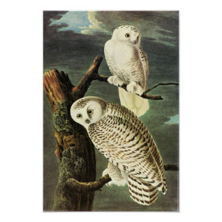 Snowy Owl - Audubon Fine Vintage Birds America Poster