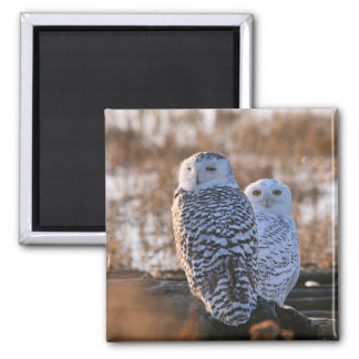 Snowy Owl Couple 2 Inch Square Magnet