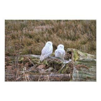 Snowy Owl Couple Photo