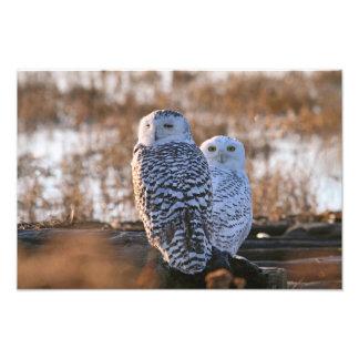 Snowy Owl Couple Photograph