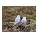 Snowy Owl Couple Postcard