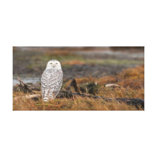 Snowy Owl in Boundary Bay BC Canvas Print