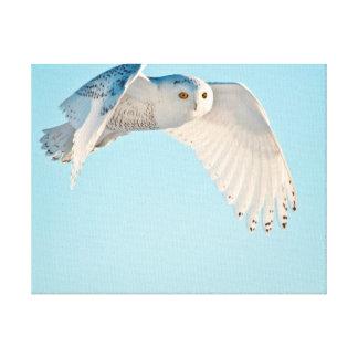 Snowy Owl in flight Canvas Prints