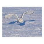 Snowy Owl in flight. Post Card