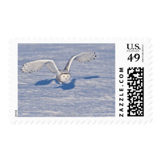 Snowy Owl in flight. Postage