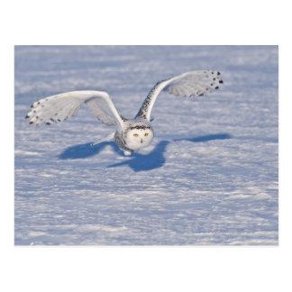 Snowy Owl in flight. Postcard