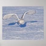 Snowy Owl in flight. Poster