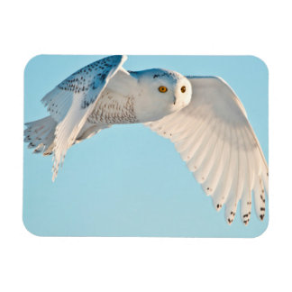 Snowy Owl in flight Rectangular Photo Magnet