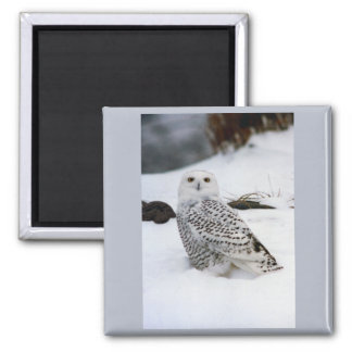Snowy Owl in The Evening Shadows 2 Inch Square Magnet