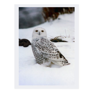 Snowy Owl in The Evening Shadows Postcard