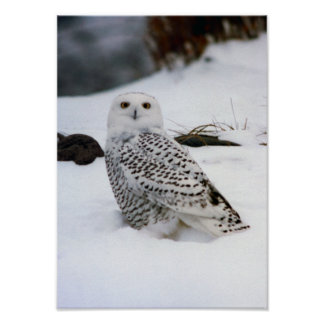 Snowy Owl in the Snow Poster Print