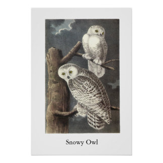 Snowy Owl, John Audubon Poster
