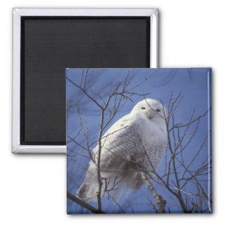 Snowy Owl Fridge Magnets