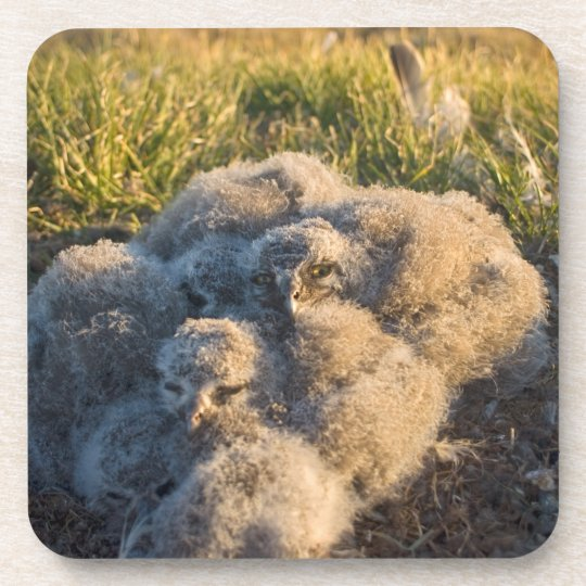 snowy owl, Nycttea scandiaca, chicks in their Drink Coaster
