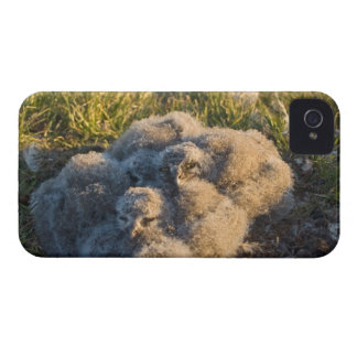 snowy owl, Nycttea scandiaca, chicks in their iPhone 4 Case