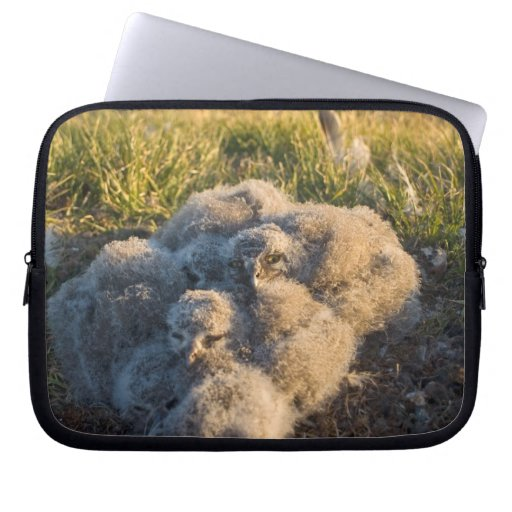 snowy owl, Nycttea scandiaca, chicks in their Computer Sleeve