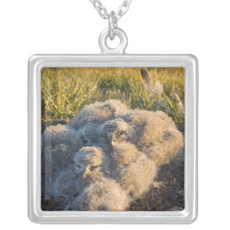 snowy owl, Nycttea scandiaca, chicks in their Silver Plated Necklace