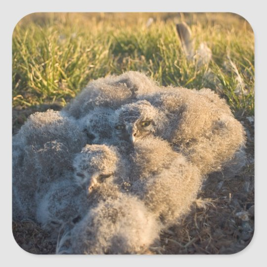 snowy owl, Nycttea scandiaca, chicks in their Square Sticker