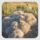 snowy owl, Nycttea scandiaca, chicks in their Square Stickers
