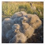 snowy owl, Nycttea scandiaca, chicks in their Ceramic Tile