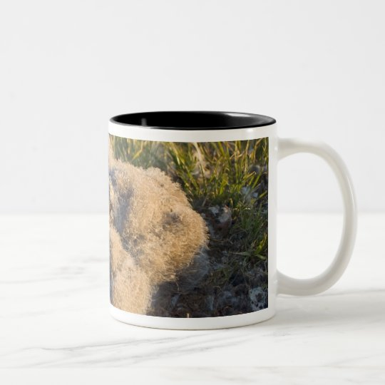 snowy owl, Nycttea scandiaca, chicks in their Two-Tone Coffee Mug