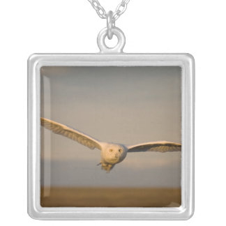 snowy owl, Nycttea scandiaca, in flight over the Square Pendant Necklace