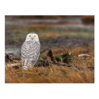 Snowy Owl on a log Postcard