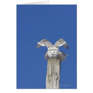 Snowy owl on top of a pole, preparing to take card