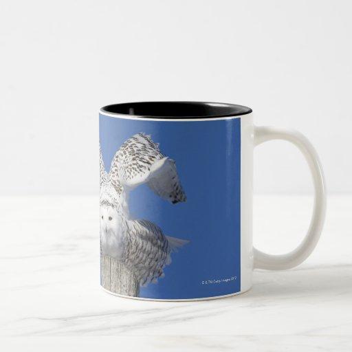 Snowy owl on top of a pole, preparing to take Two-Tone coffee mug