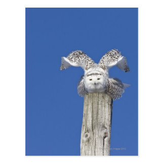 Snowy owl on top of a pole, preparing to take postcard