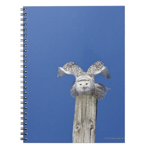 Snowy owl on top of a pole, preparing to take spiral notebook