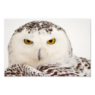 Snowy Owl Photo Print
