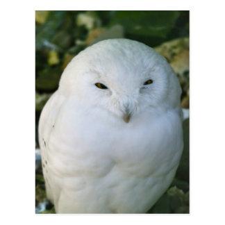 Snowy Owl Postcards