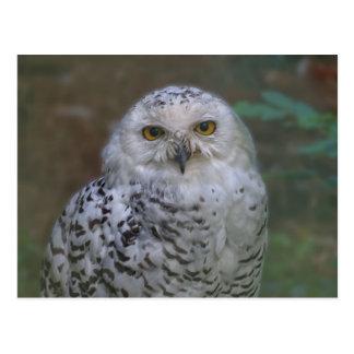 Snowy Owl, Schnee-Eule Postcard