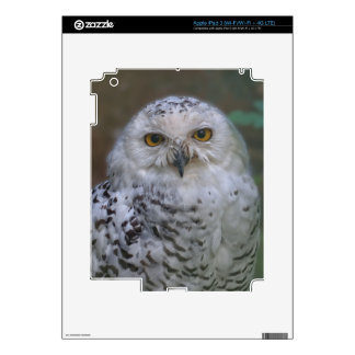 Snowy Owl, Schnee-Eule Skins For iPad 3