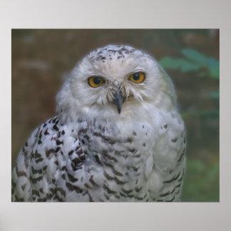 Snowy Owl, snow owl Poster