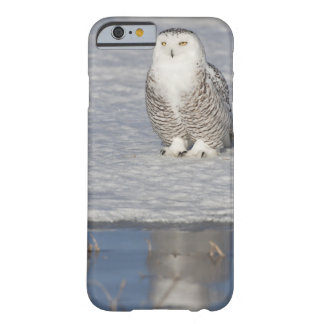 Snowy owl standing near water creating a barely there iPhone 6 case
