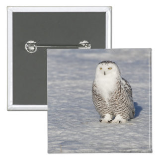 Snowy owl standing near water creating a pinback button