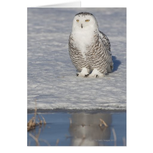 Snowy owl standing near water creating a greeting card