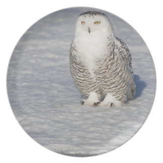 Snowy owl standing near water creating a dinner plate