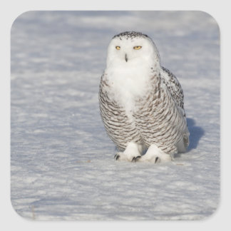 Snowy owl standing near water creating a square sticker
