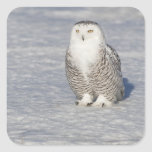 Snowy owl standing near water creating a square stickers