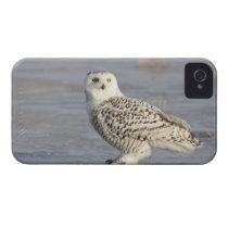 Snowy owl standing on ice, a mouse's tail Case-Mate iPhone 4 case