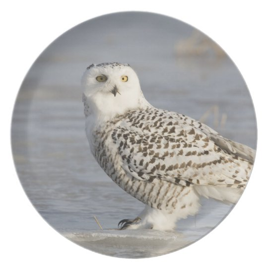 Snowy owl standing on ice, a mouse's tail dinner plate
