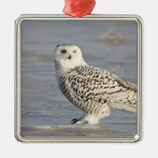 Snowy owl standing on ice, a mouse's tail metal ornament