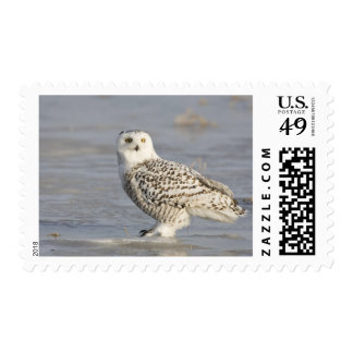 Snowy owl standing on ice, a mouse's tail postage stamp