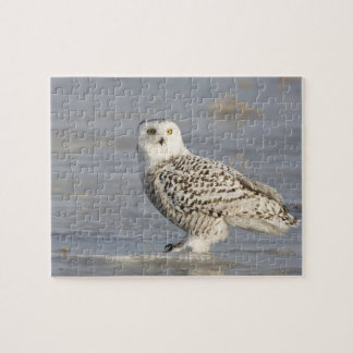 Snowy owl standing on ice, a mouse's tail puzzles